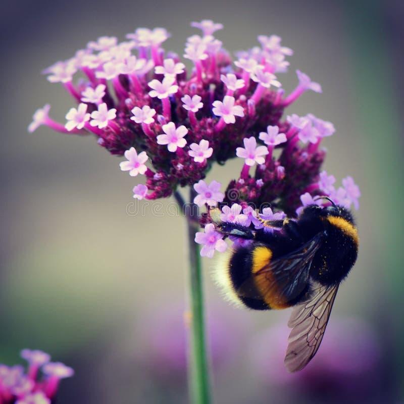 Free Bumblebee Royalty Free Stock Photo - 99167975