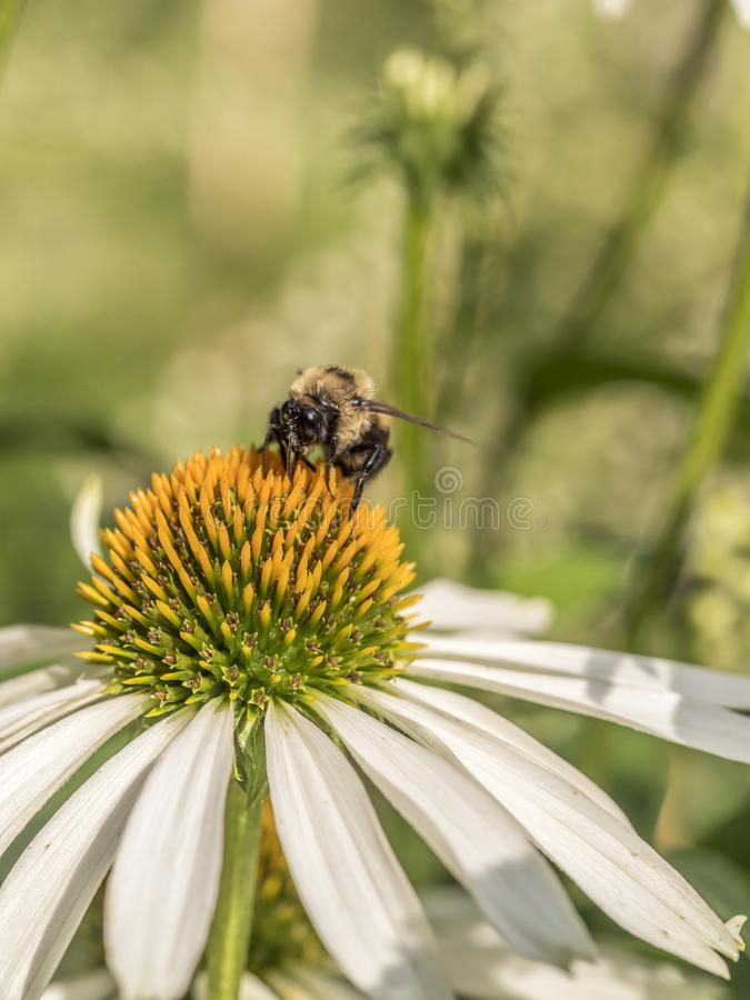 Bumblebee, also written bumble bee royalty free stock photo