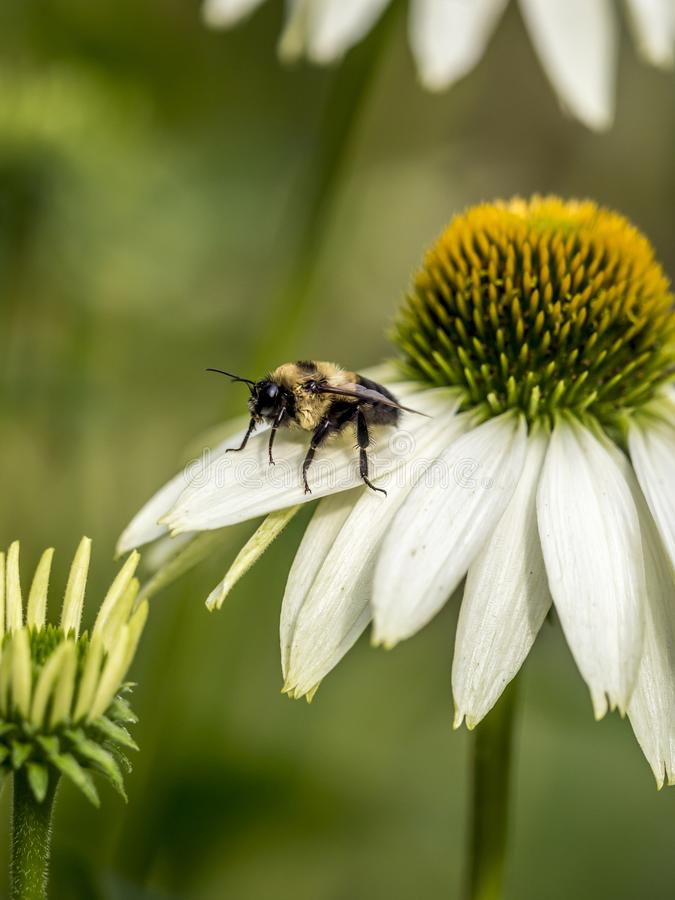 Bumblebee, also written bumble bee royalty free stock image