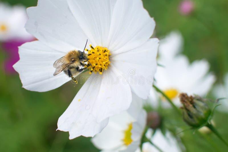 Bumblebee bierze świeżego nektar na kwiacie w wiosny łące zdjęcie stock