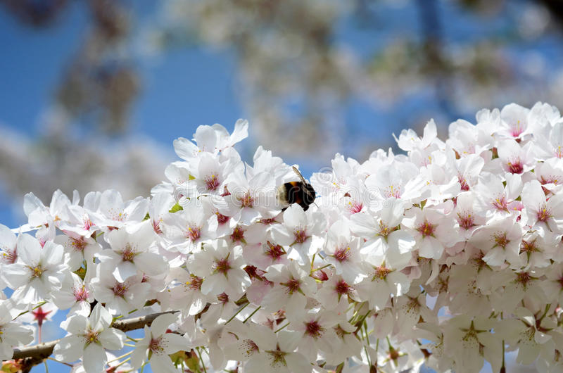 Bumblebee in blossom of cherry tree against the sky stock photography