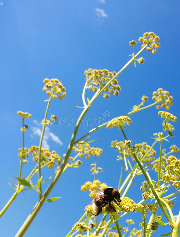 Bumblebee on Blue Sky. Large bumblebee sitting on a Garden Angelica; blue sky with tiny clouds in the background royalty free stock photo