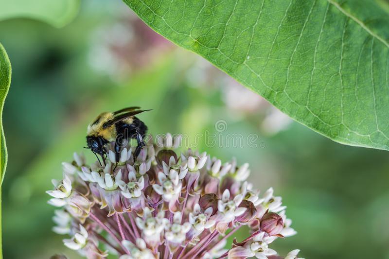 Bumblebee, Bombus, feeds on pink common milkweed, Asclepias, on a summer morning. Pink milkweed, Asclepias, on a summer morning, vital for Monarch Caterpillar royalty free stock images
