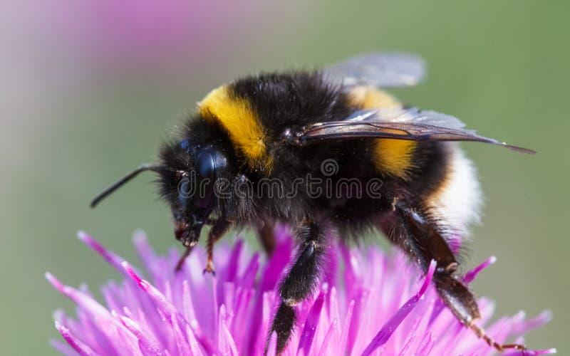 Bumblebee, Bombus Terrestris and thistle. Macro photograph of Humblebee, Bombus terrestris on a thistle royalty free stock photos