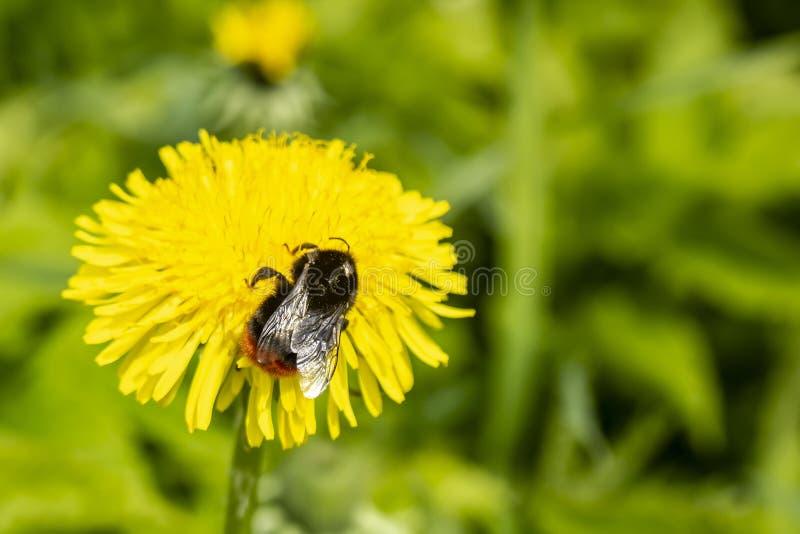 Bumblebee Bombus zbiera nektar od żółtego dandelion kwiatów taraxacum officinale, przeciw zamazanemu tłu obrazy royalty free