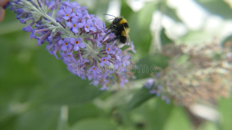 A bumblebee or bumble bee,bumble-bee,or humble-bee stock photo