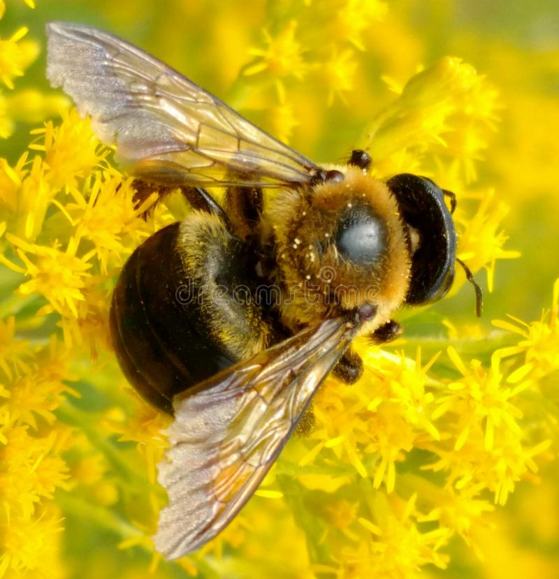 Bumble Bee on Yellow Flowers royalty free stock photos