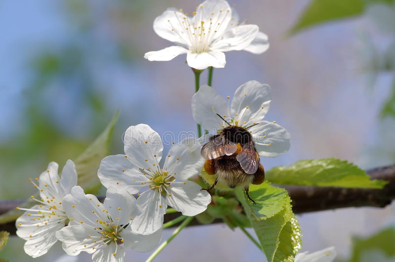Spring background. Bumblebee and white flowers of cherry plum royalty free stock images