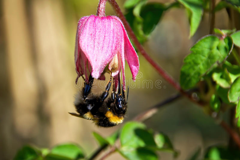 Bumblebee On Clematis Flower. A fuzzy bumblebee holds on upside-down on a pink clematis flower royalty free stock image
