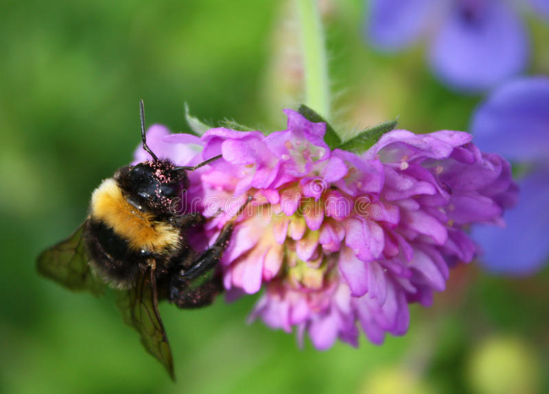 Bumblebee on the clover