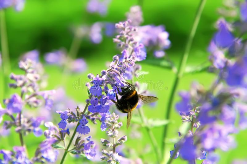 Bumblebee collecting flower pollen. Flowers of Nepeta cataria catnip, catswort, catmint. Floral background royalty free stock photos