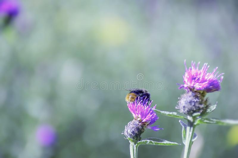 Bumblebee collecting nectar from purple thistle flower. Bumblebee collecting nectar from purple thistle flower on british meadow in summer.Nature photograph stock photography