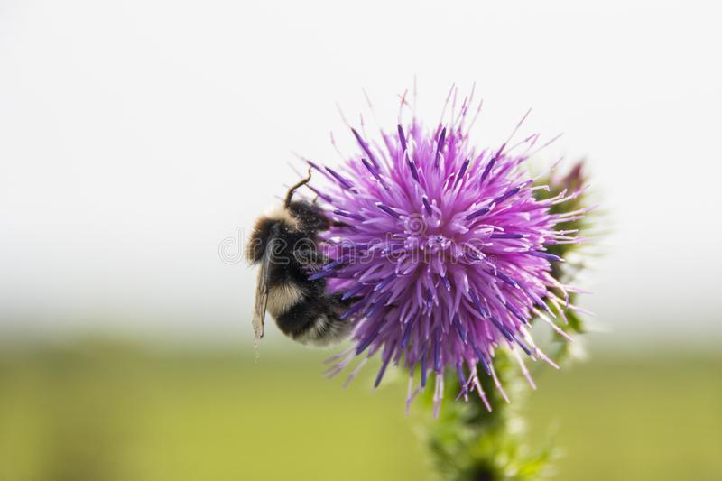 Bumblebee Collecting Pollen on a Purple Thistle. Bumblebee on a purple thistle flower, pollinating - Nature in the Netherlands royalty free stock photography