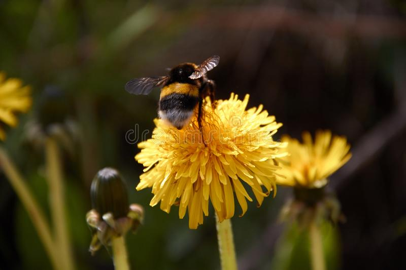 Bumblebee collecting pollen in yellow dandelion flower with diffused green grass background. Nature macro outdoor animal field meadow plant spring summer insect stock photos