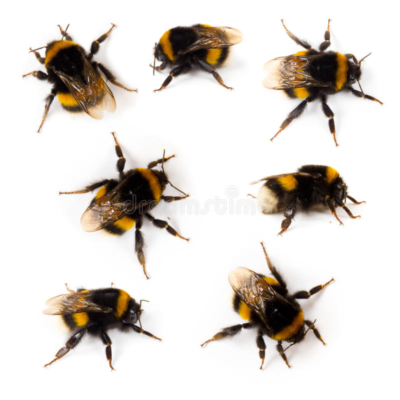 Bumblebee stock photos