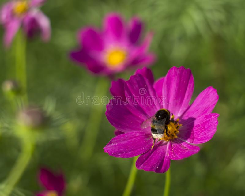 Bumblebee collects pollen. Flower cosmea on a green meadow in Sunny weather royalty free stock images