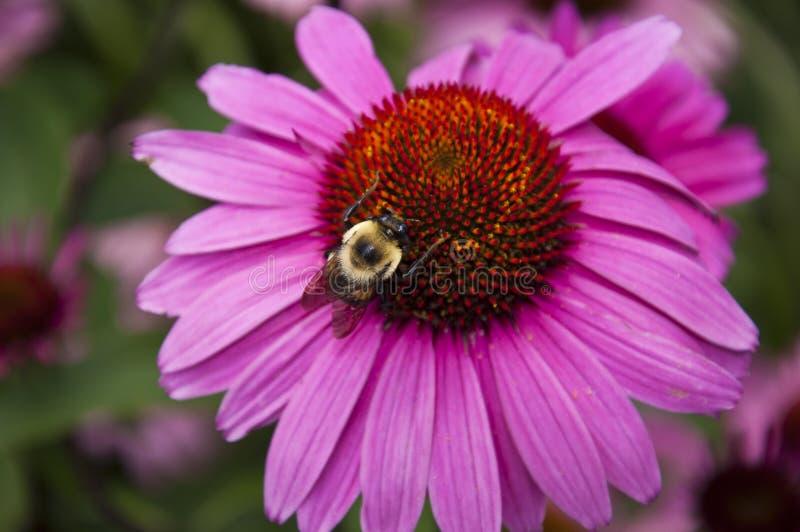 Bumblebee on cone flower stock photo