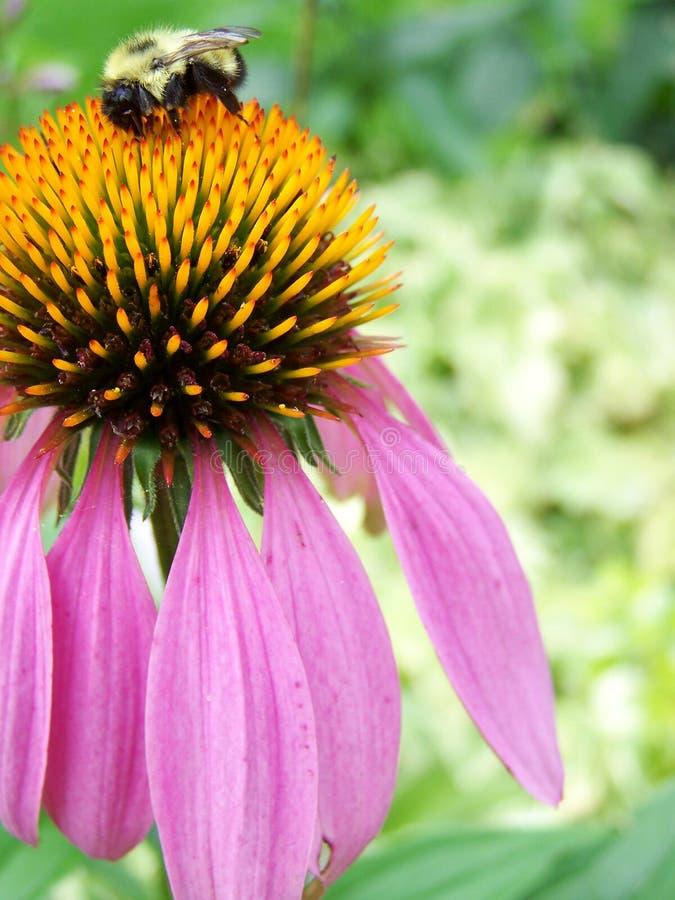 Bumblebee on coneflower royalty free stock photo