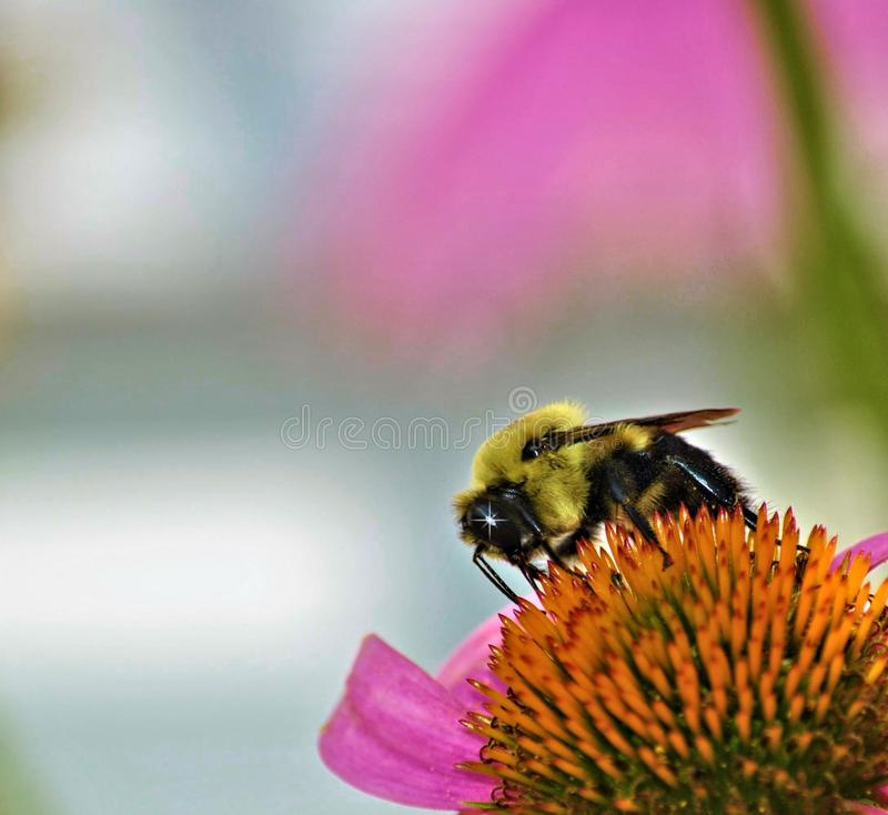 Bumblebee on a coneflowerwith a twinkle stock photo