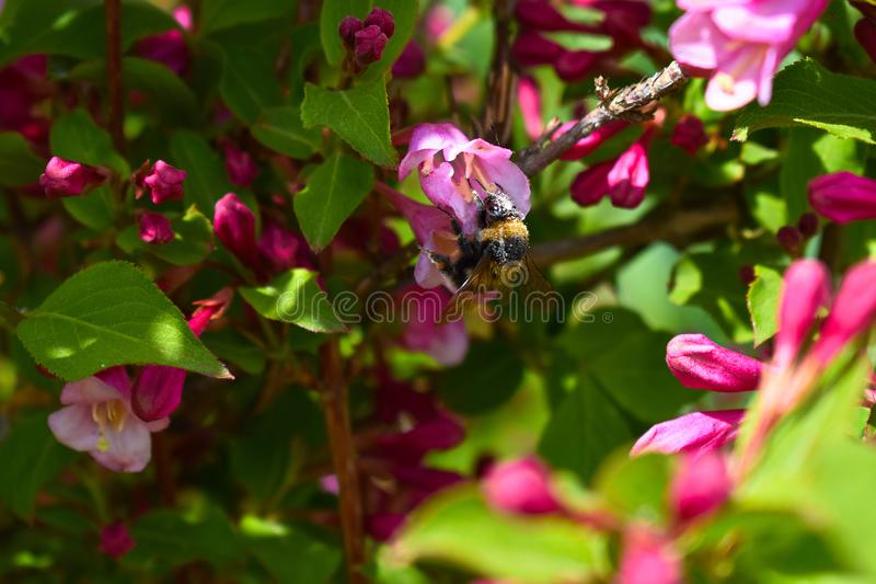 Bumblebee covered in pollen. royalty free stock photo