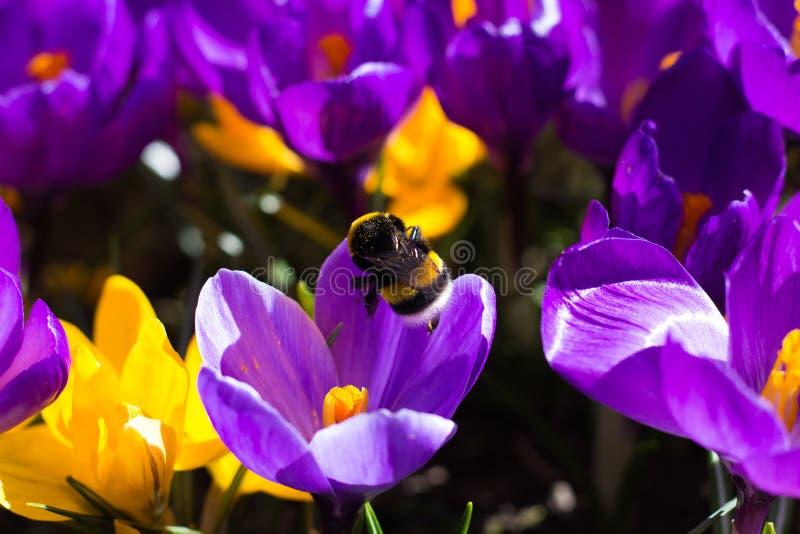 BumbleBee on Crocus. Bumblebee on Yellow and Violet Crocus royalty free stock image