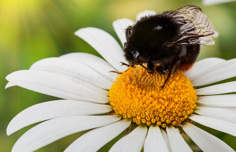 Download Bumblebee stock image. Image of pollen, background, petal - 31369943