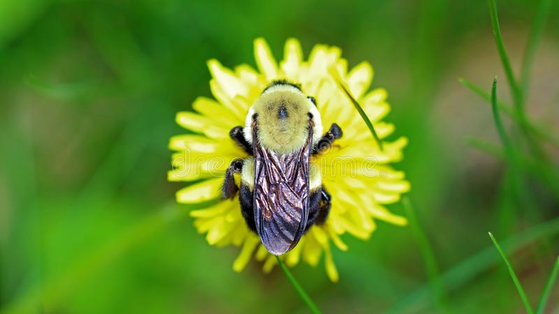 Bumblebee in a dandelion, beautiful unique yellow insect on top of a flower. royalty free stock photography