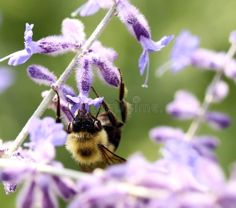 Bumblebee em flores roxas no jardim selvagem imagens de stock