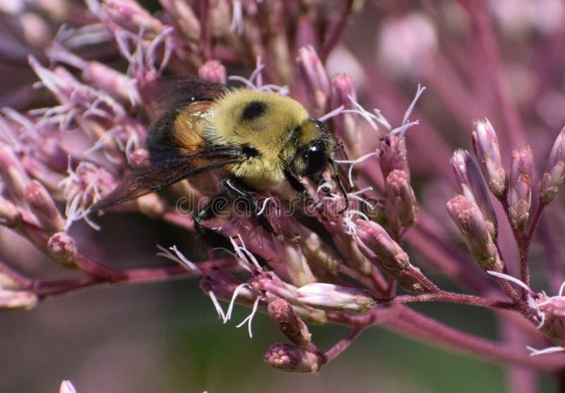 Bumblebee en Joe Pye Weed fotografía de archivo
