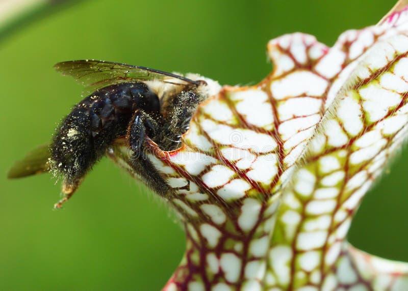 Bumblebee entering a flesh eating plant. Bumblebee covered in nectar entering a flesh eating plant stock photos