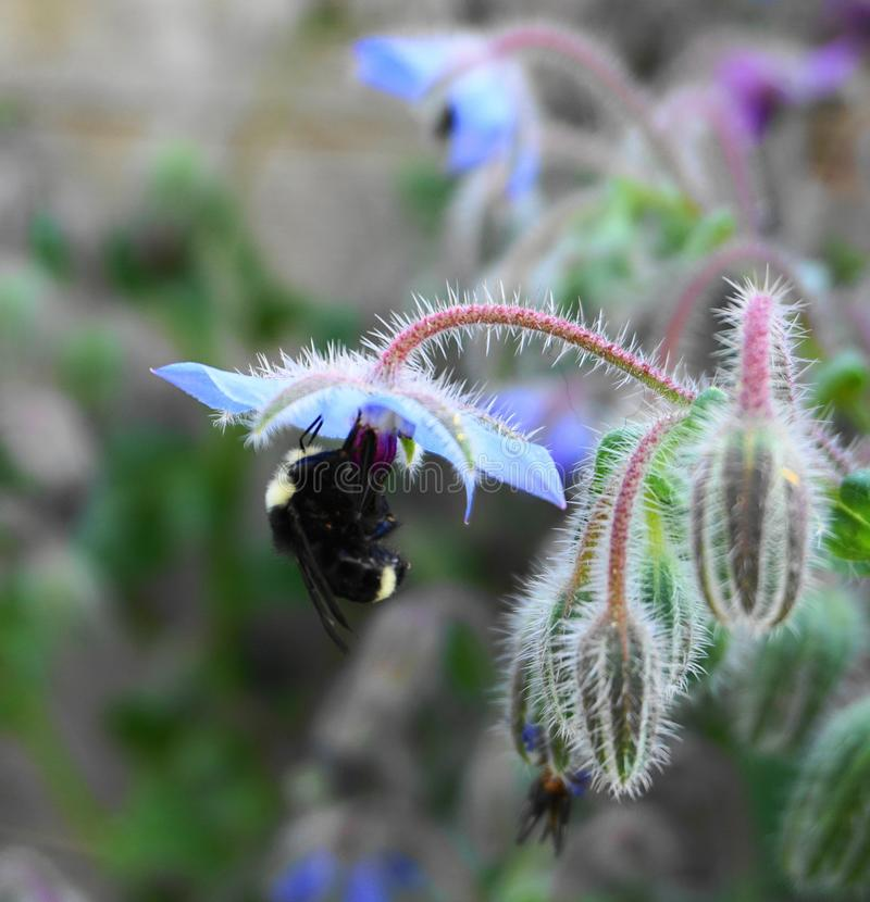 A Bumblebee extracting nectar from a blue Borage flowers. Close up a Bumblebee extracting nectar from a beautiful blue Borage flowers stock photo