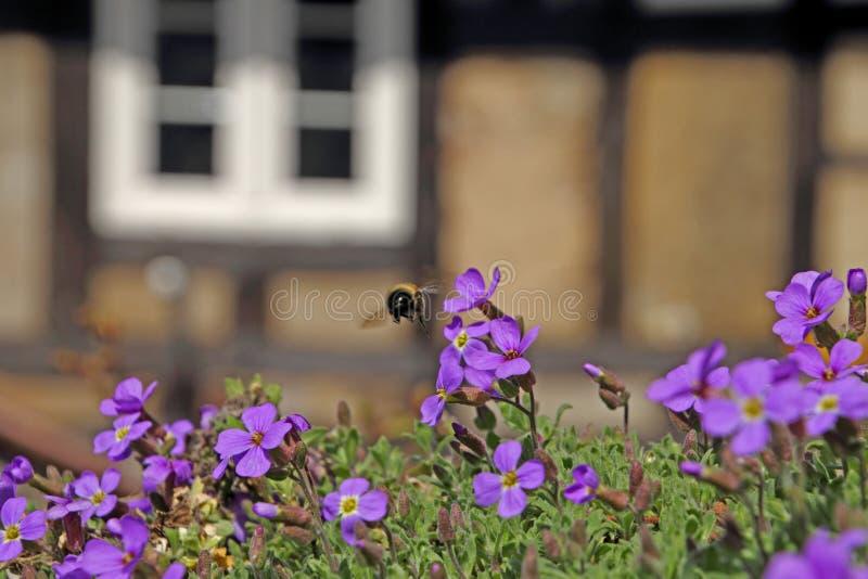 Bumblebee in the farm garden royalty free stock photo