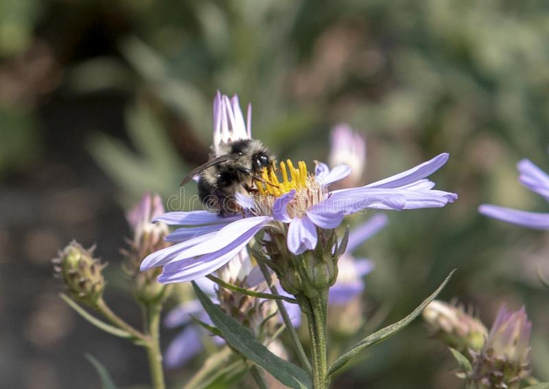 Bumblebee feeding on a Cascade Aster bloom in Mount Rainier National Park stock image