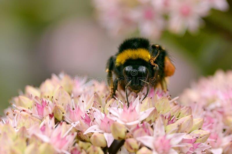 Bumblebee feeding on flower stock images