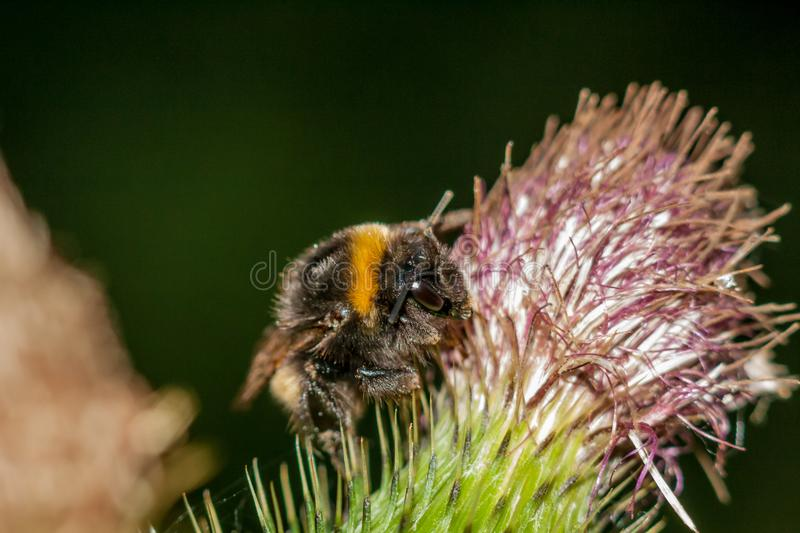 Bumblebee on a spear thistle royalty free stock photo