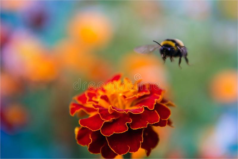 Flight of the bumblebee royalty free stock photo