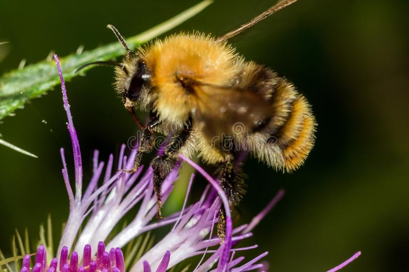 Bumblebee in flight sitting on a pink flower plant royalty free stock images