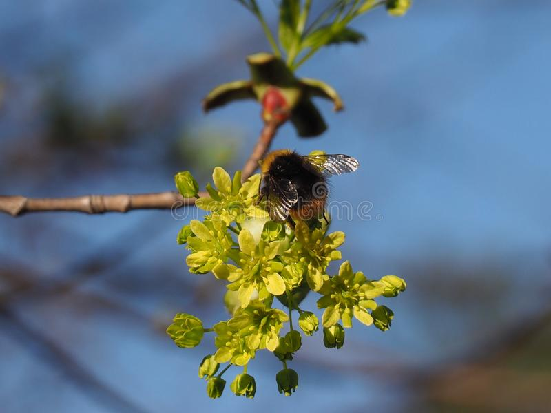 Bumblebee on a flower of a maple tree in spring. Spring is the time of awakening of nature, the sun shines brightly in the blue sky, leaves bloom on the trees stock image