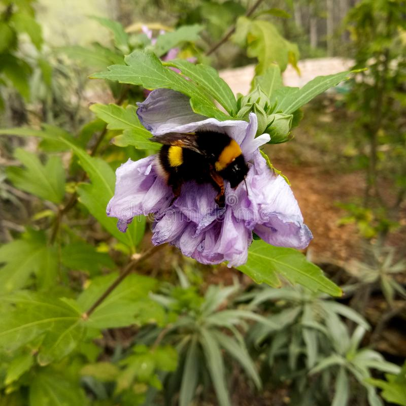 Bumblebee on the flower royalty free stock photos