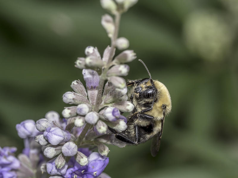 Bumblebee on flower in summer royalty free stock photography