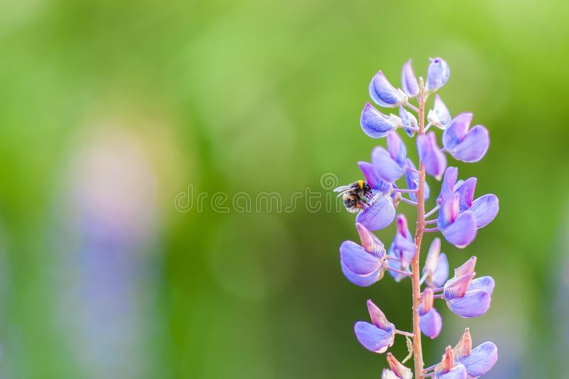 Bumblebee on the flowers of Muscari. Muscari armeniacum. Grape Hyacinths. Spring flowers. Muscari armeniacum plant with blue royalty free stock image