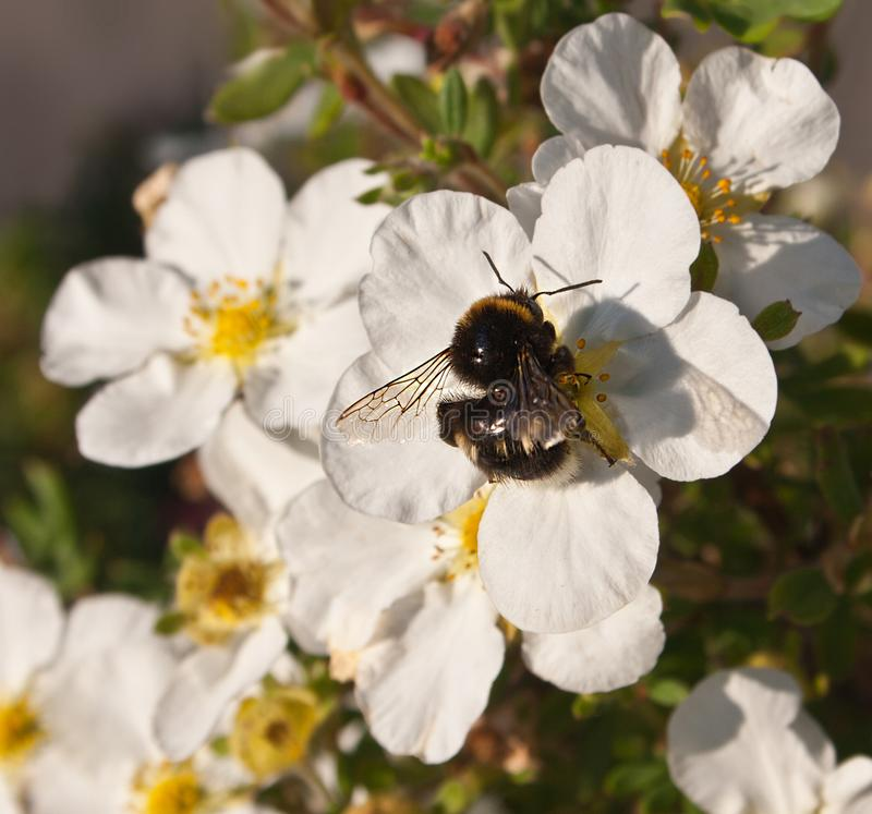 Bumblebee on flowers royalty free stock image
