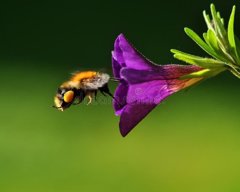Bumblebee fly to purple petunia royalty free stock photos