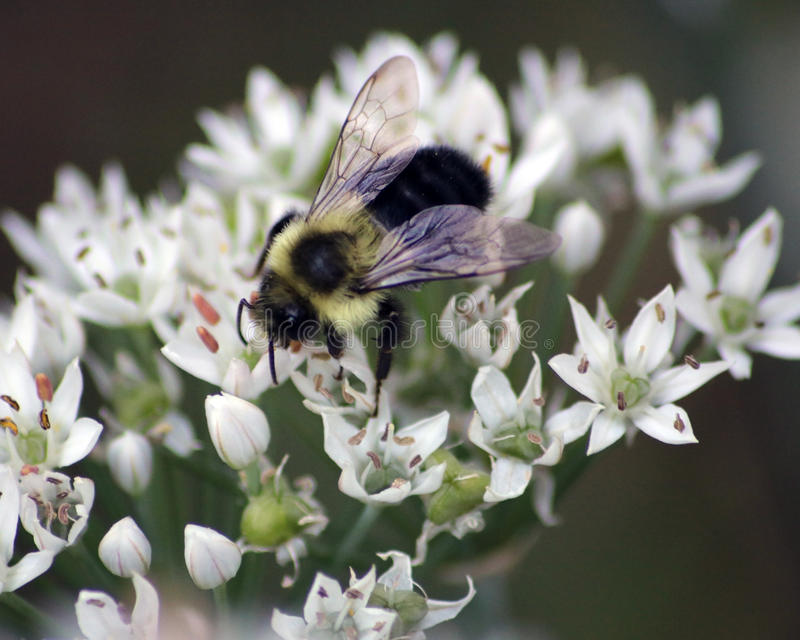 Bumblebee on garlic chive plant. Bumblebee pollinating the pretty star shaped clusters of white flowers on a garlic chive plant. These flowers are fragrant and stock photos