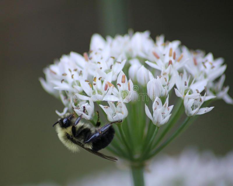 Bumblebee on garlic chive plant. Bumblebee on the white flowers of a garlic chive plant during late summer in Rhode Island royalty free stock images