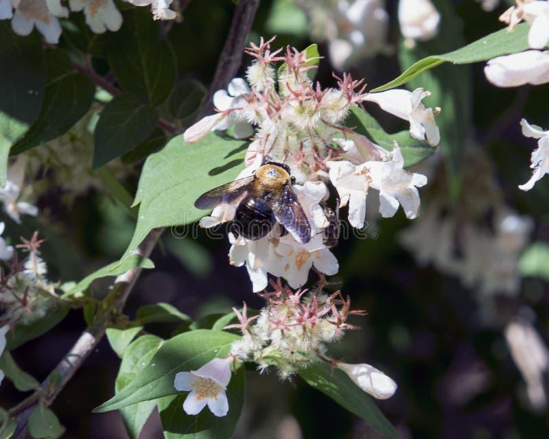 Bumblebee gathering nectar from honeysuckle stock image