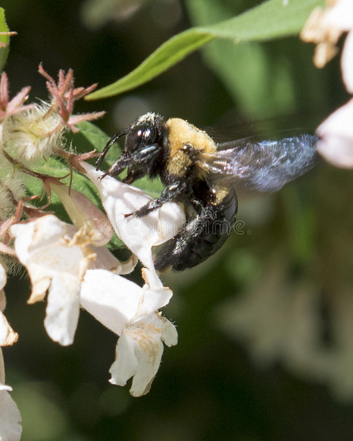 Bumblebee gathering nectar from honeysuckle royalty free stock photos