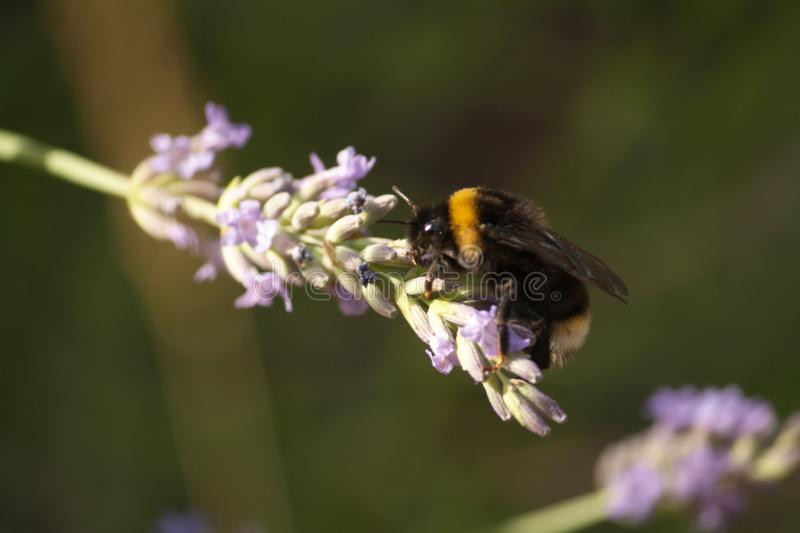 A bumblebee gathers nectar from a lavender flower royalty free stock photo
