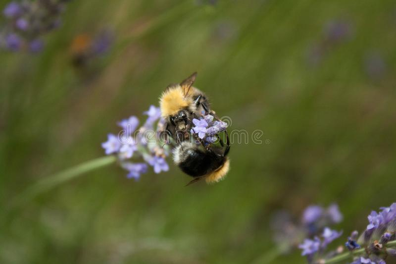 A bumblebee gathers nectar from a lavender flower royalty free stock images