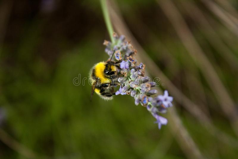 A bumblebee gathers nectar from a lavender flower stock photo